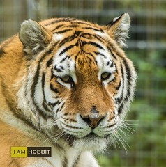Tiger (draco-man2) Tags: geotagged zoo wildlife tiger marwellzoo wildlifepark hampshireuk lightroom4 nikond7100 tamron150600lens goldencommonnrwinchester