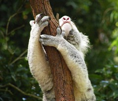 "~ Reach for the stars "" (A4ANGHARAD) Tags: koala australia macevans fuji s8000fd currumbinwildlifesanctuary oz a4angharad magicalmoments"