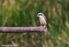 Long-tailed Shrike (asheshr) Tags: india bird birds bokeh wetlands orissa shrike birdsofindia beautifulbokeh odisha mangalajodi birdsofodisha birdsoforissa mangalajodiwetlands birdsofmangalajodi