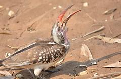Insect Lunch (ott.geoffrey) Tags: red bird lunch sand wildlife birding beak safari botswana chobe hornbill redbilledhornbill chobenationalpark
