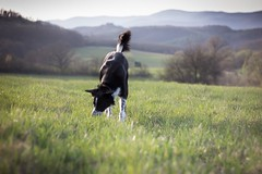 Spring smells sweet (kisnikee) Tags: sunset field landscape evening spring meadow bordercollie ruby smells brzsny
