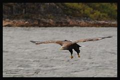 White-tailed Eagle/ Havsrn (G.Claesson) Tags: norway norge big eagle norwegen raubvogel whitetailed stor rn trollfjorden whitetailedeagle havsrn haliaeetusalbicilla rovfgel bigofprey