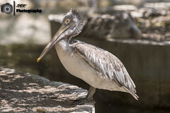 _DSC1645 (rvk82) Tags: india birds photography nikon dof bokeh wildlife depthoffield chennai tamilnadu southindia in 2016 rvk guindy nikkor70200mm guindynationalpark nikond810 rvkphotography april2016