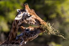 Girafe de Nubie_151201_RAS (f.chabardes) Tags: france animaux aude languedoc decembre classification 2015 4t mammifères giraffidae artiodactyles narbonnais vertébrés réserveafricainesigean giraffacamelopardalisperalta girafedenubie 013datation giraffeperalta 005lieux 007nature eutheriensplacentaires