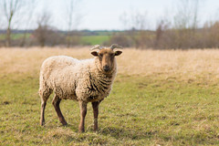 Natural Lawnmowers (oandrews) Tags: nature animal animals fauna canon outside outdoors sheep unitedkingdom outdoor northamptonshire naturereserve gb wooly signsofspring titchmarsh wildlifetrusts aldwincle ukspring canonuk canon70d