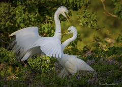 Welcome Home (Happy Photographer) Tags: bird colors texas breeding egret greatwhiteegret highisland amyhudechek smithoakrockery nikon200500f56