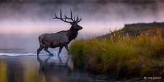 Emergence (craig goettsch - On Walkabout with spotty internet) Tags: nature animal mammal nationalpark nikon bravo wildlife ngc bull npc d750 wyoming elk 600mm sunrays5 grandtetons2015