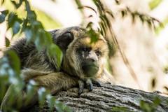 Eyes like these (maurobah) Tags: portrait nature animal zoo monkey sad sadeyes animallife temaiken canon70d