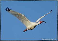 White Ibis in flight (RKop) Tags: a77mk2 minolta600mmf4apog jndarlingnwr sanibel florida raphaelkopanphotography sony wildlife