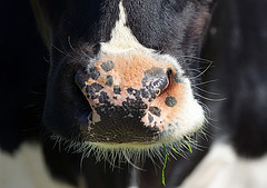 Sniffing me out! (SteveJM2009) Tags: uk detail closeup nose focus dof cattle cows teeth may whiskers wiltshire markings holstein stevemaskell 2015 heifer wilts ogbournestgeorge