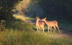 Greetings. (rlbarn) Tags: wildlife doe deer whitetail