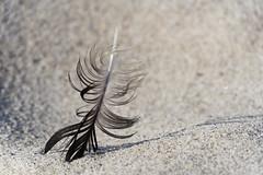 TH20150515A603559 (fotografie-heinrich) Tags: strand ostsee zingst feder