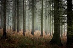 Bristles (Aidan Mincher) Tags: wood uk trees winter mist woodland landscape heather yorkshire earlymorning canon5dmk3 boleedgeplantation