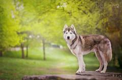 Call of the wild (Elisa Pirat) Tags: dog chien pet green animal husky bokeh lumire vert posture fort regard lgance brocliande