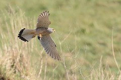 HNS_1673 Torenvalk : Faucon crecerelle : Falco tinnunculus : Turmfalke : Common Kestrel