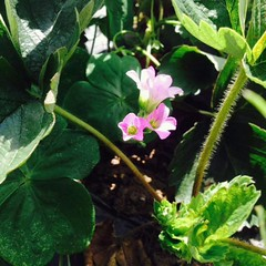 Strawberry (annafatima.galvez) Tags: favorite plants flower nature fruits leaf strawberry pretty air great violet breathe baguiocity yunmy