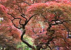 Japanese Maple (jeff's pixels) Tags: tree nature garden maple nikon d750 seattlejapanesegarden