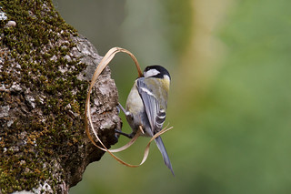 Cinciallegra (Parus major) - Great Tit