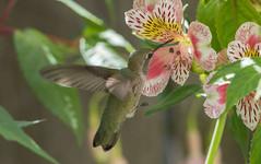 Alstro Hummer 2 (pictureted) Tags: nikon hummingbird alstroemeria d500 200500vr