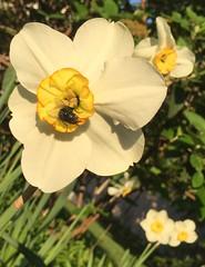HFDF on a daffodil (AsiVivo) Tags: naturaleza nature fly mosca narciso