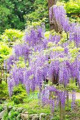 Beauty of mauve (shinichiro*) Tags: flower japan spring april nara crazyshin wisteria 2016   afsnikkor70200mmf28ged  nikond4s 20160427ds30782