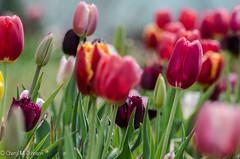CMJ_2987 (cmj_rnrgrl) Tags: flower lensbaby virginia tulips farms haymarket burnside lensbabysweet56