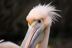 Stylish! (pesom) Tags: two bird animal zoo 500v20f frankfurt sony pelican pelikan zwei tier vogel 2016 mirrorless a6000