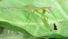 Mantis (John Steedman) Tags: africa mantis insect afrika uganda afrique mantid eastafrica ostafrika   ouganda  afriquedelest