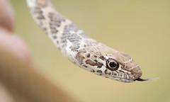 "I call this one ""Bitey"" (Tony P Iwane) Tags: reptile snake mojave snakes reptiles herps mojavedesert sanbernardinocounty fieldherping coachwhip herping redracer redcoachwhip coluberflagellum coluberflagellumpiceus"
