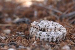 Speckled Rattlesnake #5 (DevinBergquist) Tags: arizona nature wildlife az rattlesnake crotalus fieldherping herping speckledrattlesnake crotalusmitchellii crotaluspyrrhus