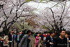 20160405-037-Picnics under Yoyogi-koen cherry blossoms (Roger T Wong) Tags: travel people holiday japan garden balloons tokyo spring picnic crowd harajuku cherryblossoms yoyogikoen 2016 canonef70200mmf4lisusm canon70200f4lis canoneos6d rogertwong