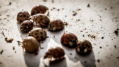 Ladybirds 01 (The HH) Tags: sunshine metal bug beetle dirt ladybird ladybug ladybeetle bunt kfer marienkfer