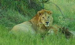 The King (oldoinyo) Tags: africa grass lion pride safari predator okavango pantheraleo