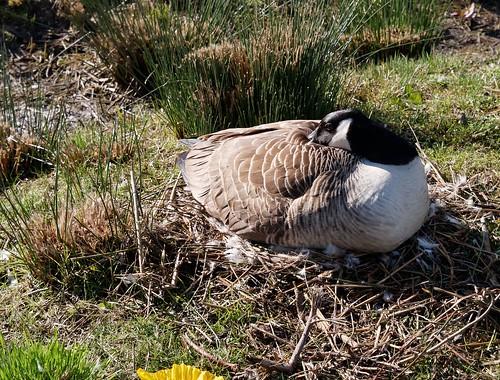 Bernache goose nest