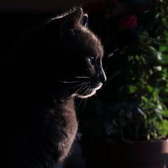 Quand les photons m'aident  dessiner la perfection... (Et si, et si ...) Tags: portrait soleil chat lumire profil matin louna