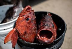 [San Francisco] Vermilion Snapper (DavidLeeNBA) Tags: sanfrancisco california fish snapper pigeonpoint route1 vermilion