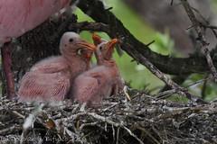 Oozing cuteness (dbifulco) Tags: bird nature babies florida wildlife chicks behavior staugustine rookery roseatespoonbill nestlings alligatorfarm bobb2016