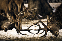 auswahl20160121 (allgaeubilder) Tags: winter wild brunnen januar hirsch schwangau 2016 wildftterung