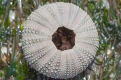 IMG_3166 (armadil) Tags: macro beach beaches urchin seaurchin mavericks californiabeaches