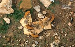 The Tawny Angle -  (Antonio Giudici Butterfly Trips) Tags: thailand butterflies lepidoptera chiangmai chiangdao hesperiidae pyrginae ctenoptilumvasavavasava thetawnyangle