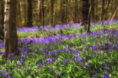 Bluebell Woods (robin denton) Tags: flowers nature bluebells woodland spring woods yorkshire wildflowers ysp yorkshiresculpturepark
