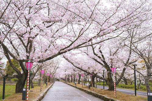 Walking through Sakura