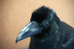 Crow (stuffed) (kr0nk0) Tags: nikon df crow af tamron 28300mm 3563 a010 pzd