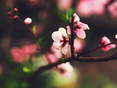 Springtime in Nagoya, Japan (Jon-F, themachine) Tags: flowers plants plant flower nature japan asian outdoors flora asia olympus nagoya  nippon japo oriental  orient  fareast  aichi nihon  omd    chubu japn  2016 m43  mft   mirrorless  chuubu   micro43 microfourthirds  ft xapn jonfu  mirrorlesscamera snapseed   em5ii em5markii