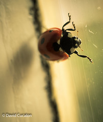 Ladybug (David Cucalón) Tags: windows macro nature animal insect ventana natural highcontrast naturallight ladybug ligth insecto 2016 altocontraste luznatural cucalon davidcucalon