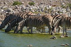 classical namibia: Zebras (pmsoftware) Tags: africa animals pro 300 af waterhole namibia etosha zebras 2x kenko d610 20x teleplus dgx telepluspro300 campokaukuejo telepluspro300af20xdgx