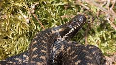 Adder (Vipera berus) (RonW's Nature Photography) Tags: netherlands animal canon europe reptile snake nederland veluwe adder venomous slang vipera viperaberus berus reptiel 100400ii