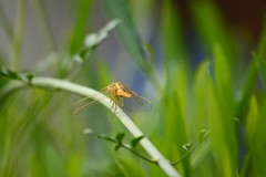 Let the dragon rest (kamirao) Tags: macro green nature insect dragonfly bokeh islamabad margalla