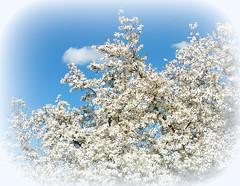 magnolia in white (hatschiputh) Tags: sky spring blossom magnolia tbingen magnolie