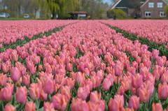Soft pink tulip field (Ben den Hartog) Tags: holland netherlands tulips nederland tulip noordoostpolder flevoland tulpen tulp tulpenroute